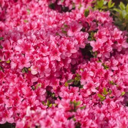 Rhododendron obtusum 'Michiko'