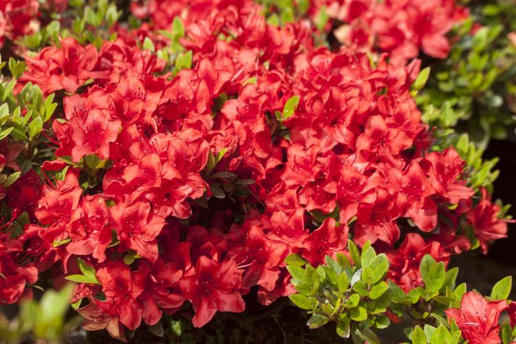 rhododendron obtusum 39 muneira 39 azalee baumschule nielsen. Black Bedroom Furniture Sets. Home Design Ideas