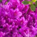 Rhododendron obtusum 'Lady Dark' ®