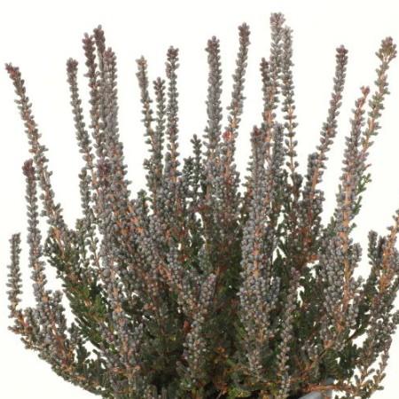 Calluna vulgaris 'Zulu' GardenGirls ®