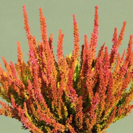 Calluna vulgaris 'Zoe' GardenGirls ®