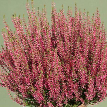 Calluna vulgaris 'Selma' GardenGirls ®