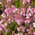Daboecia cantabrica 'Rosella' s