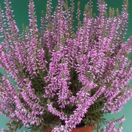 Calluna vulgaris 'Lisbeth'