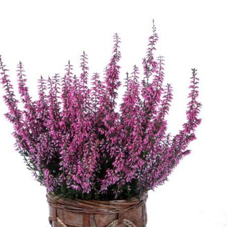 Calluna vulgaris 'Frieda' GardenGirls ®