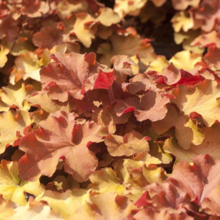 Heuchera 'Tangerine Wave'