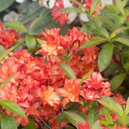 Rhododendron mixtum 'Feuerköpfchen'