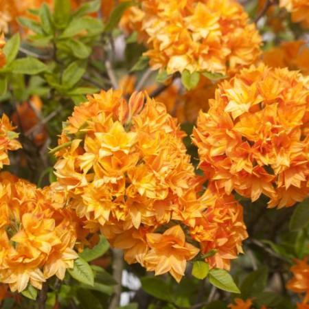 Rhododendron mixtum 'Orangenköpfchen'