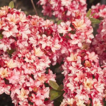 Rhododendron mixtum 'Rosenköpfchen'