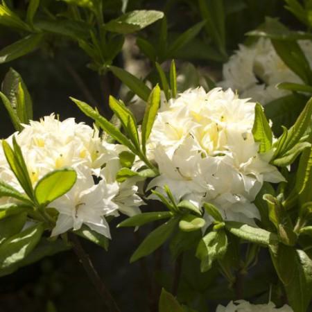 Rhododendron mixtum 'Schneeköpfchen'