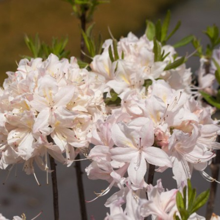 Rhododendron prinophyllum 'White Lights'