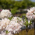 Rhododendron prinophyllum 'White Lights'
