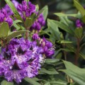 Rhododendron Hybride 'Blaue Jungs'