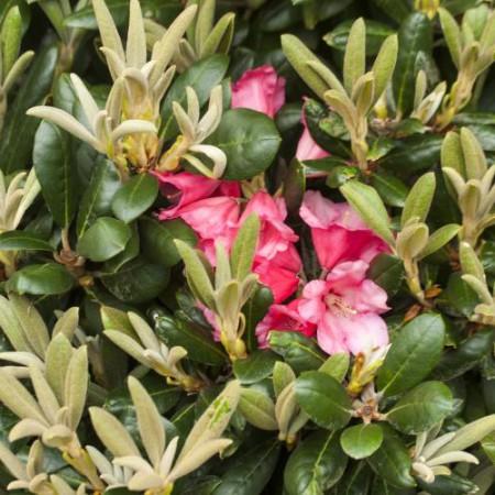 Rhododendron yakushimanum 'Debbie Dane'