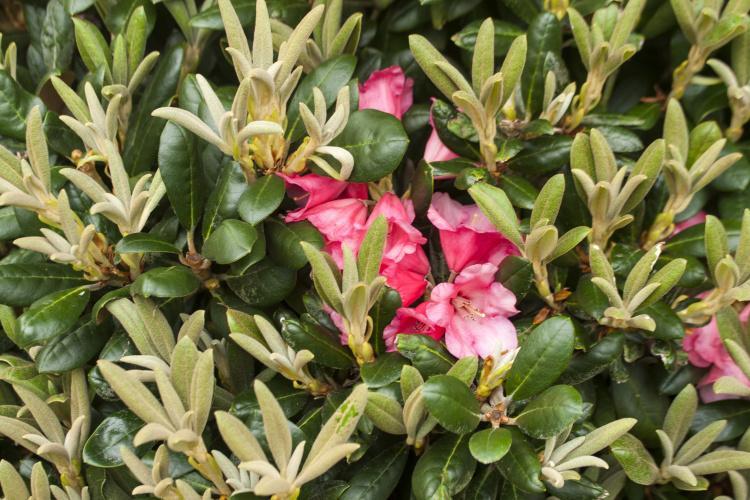 rhododendron yakushimanum 39 debbie dane 39 baumschule nielsen. Black Bedroom Furniture Sets. Home Design Ideas