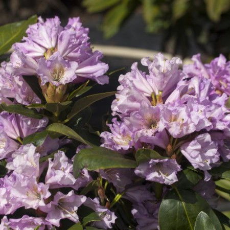 Rhododendron Hybride 'INKARHO Dufthecke' ® lila