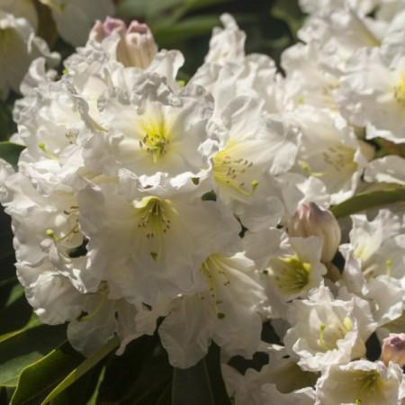 Rhododendron Hybride 'INKARHO Dufthecke' ® weiß