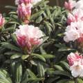 Rhododendron yakushimanum 'Edelweiß'