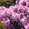 Rhododendron Hybride 'Frentano' ®