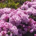Rhododendron Hybride 'Frentano'