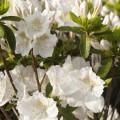 Rhododendron obtusum 'Lemon Eye'
