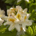 Rhododendron luteum 'Persil'