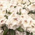 Rhododendron Hybride 'Prinses Máxima'