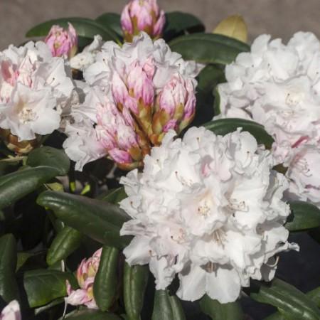 Rhododendron yakushimanum 'Falling Snow'