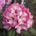Rhododendron yakushimanum 'Herbstzauber' ®