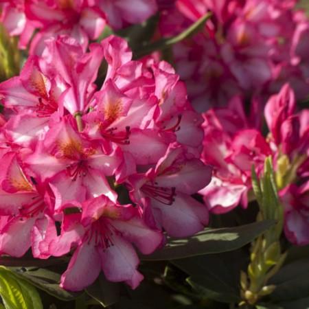 Rhododendron Hybride 'Prinz Karneval'