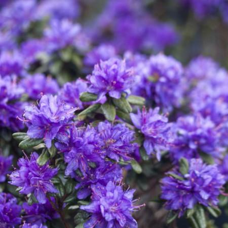Rhododendron russatum 'Purple Pillow'