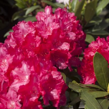 Rhododendron yakushimanum 'Astrid' -S-