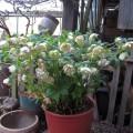 Helleborus gefüllt grünlich weiß