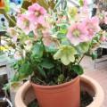 Helleborus orientalis 001