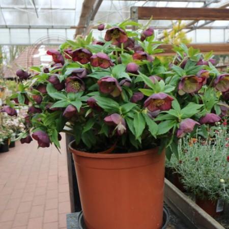 Helleborus orientalis 002