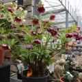 Helleborus orientalis 004