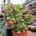Helleborus orientalis 005