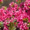 Rhododendron obtusum Kleiner Prinz