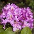 Rhododendron Hybride 'Pink Purple Dream' ®