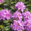 Rhododendron Hybride 'Pink Purple Dream' ®