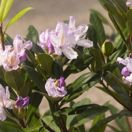 Rhododendron Hybride 'Septembercharme'