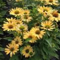 Echinacea 'Yellow Pearl'
