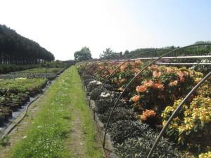 Rhododendron groß & klein