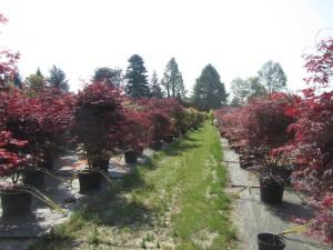 Acer palmatum 'Fireglow' & 'Bloodgood'