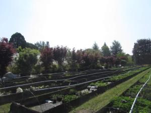 Acer palmatum groß