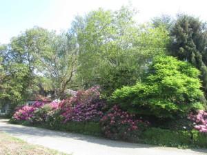 Rhododendron Beet in der Einfahrt