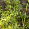 Acer palmatum 'Kinky Krinkle'