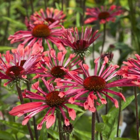 Echinacea 'Purple Spider'