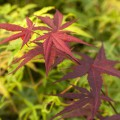 Acer palmatum 'Red Flash'