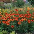 Echinacea 'Kismet ® Intense Orange'